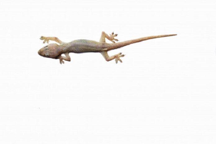 lizard effect